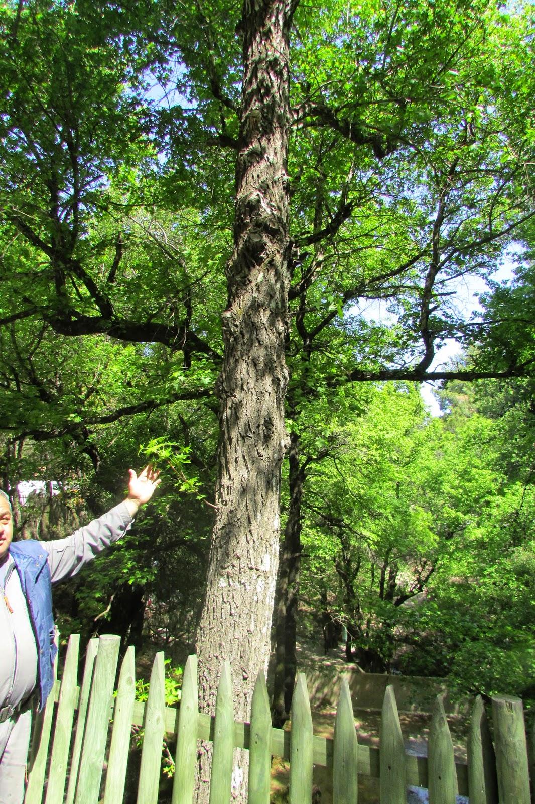 drzewo z Petaludes